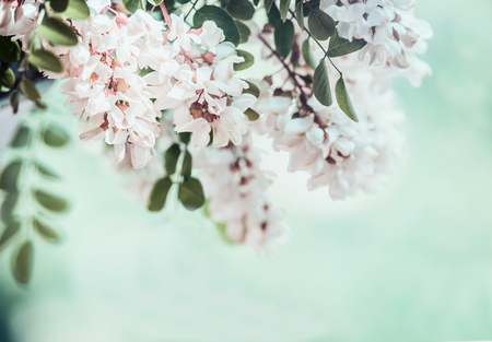 Close up of  beautiful acacia blossom on blurred nature background