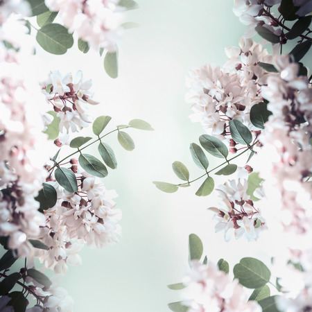 Beautiful acacia blossom frame, spring and summer nature background