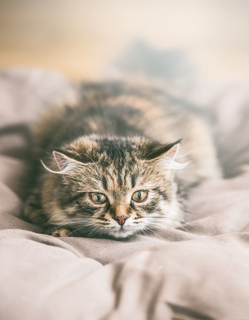 Face of young Siberian cat hunt Stock Photo