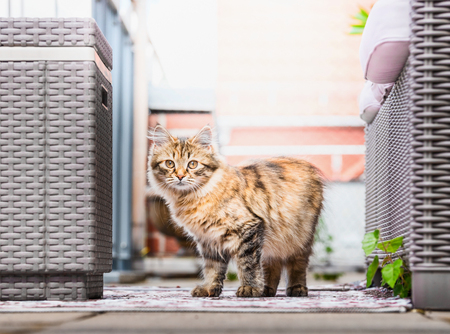 Young fluffy cat on balcony . Siberian cat lifestyle