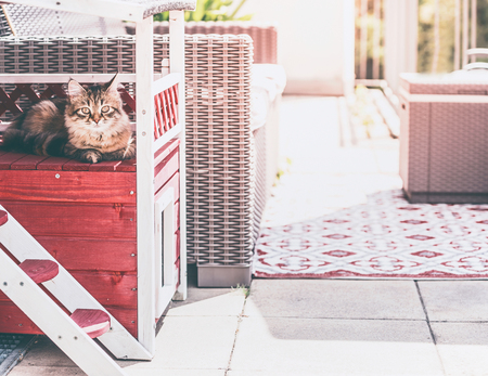 Young fluffy cat lies in cat house on balcony and looks at camera. Siberian cat lifestyle Stock Photo