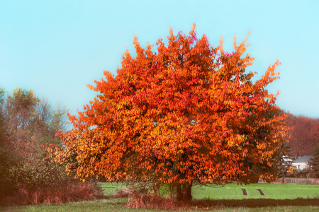 Beautiful gorgeous tree with red autumn foliage at sky and country background