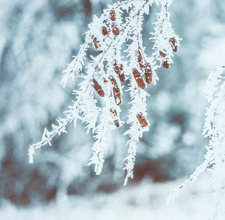 Frozen trees branches with snow and hoarfrost. Outdoor winter nature