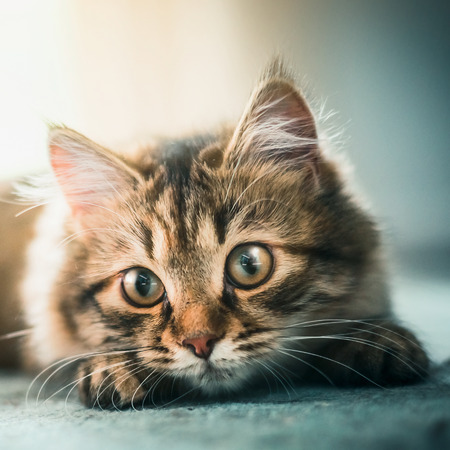Lovely little kitten muzzle. Siberian cat with beautiful eyes