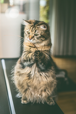 Fluffy cat with funny face sits on its hind legs and holds dried  grass in its front paws in living room .