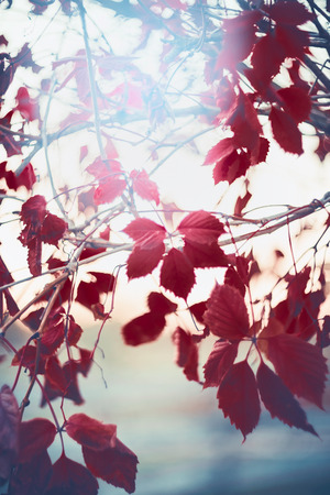 Autumn nature background with red leaves of Virginia creeper