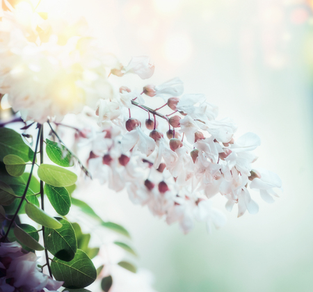 White spring acacia blossom on blurred nature background with bokeh and sunlight, close up. Abstract floral springtime nature , outdoor Stock Photo