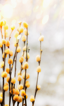 Fresh spring nature with willow branches and furry yellow catkin at bokeh