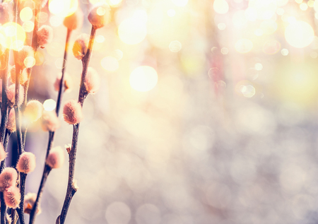 Spring feeling nature with willow branches and furry catkin in sunlight bokeh Stock Photo