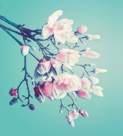Pretty magnolia spring blossom. Flowering branch of magnolia at turquoise background. Springtime concept. Floral border. Close up 版權商用圖片