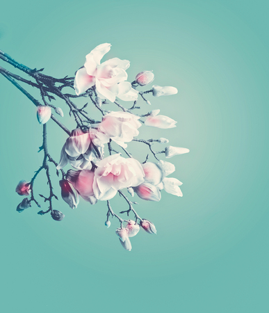 Magnolia spring blossom. Flowering branch of magnolia at turquoise background. Springtime concept. Floral border