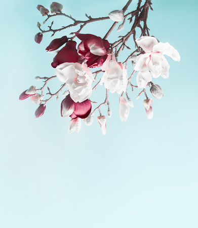 Hanging magnolia blossom. Flowering branch of magnolia at light blue