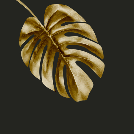 Gold tropical Monstera leaf , isolated on black background