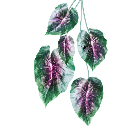 Tropical green leaves with purple middle , isolated on white background. Hanging exotic leaves.