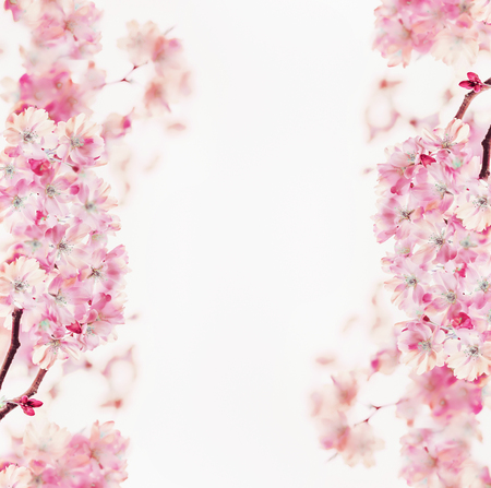 Pink spring blossom frame of cherry on white background. Floral border. Springtime nature background. Sakura blooming
