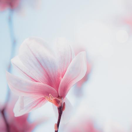 Close up of lovely magnolia bloom. Springtime blossom. 스톡 콘텐츠