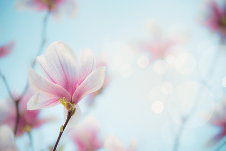 Outdoor magnolia bloom at blurred nature  with bokeh.