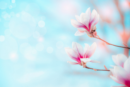 Spring nature  with pretty magnolia blooming at blue sky with bokeh.
