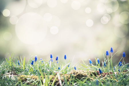Spring nature  with wild hyacinth flowers at bokeh. Springtime outdoor