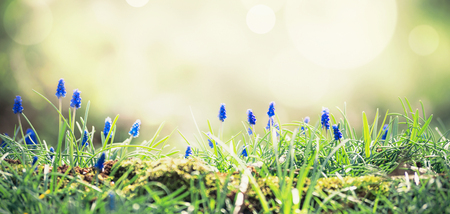 Wild hyacinths at sunlight on forest glade.