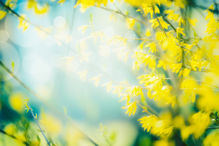 Sunny spring nature  with yellow forsythia blooming. Springtime outdoor. Frame. Selective focus