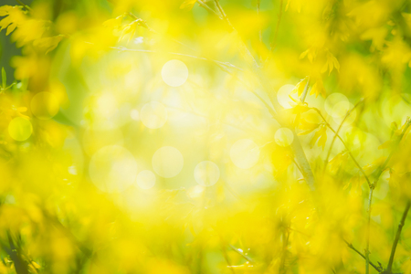 Yellow blurred nature  with yellow blooming. Forsythia blossom