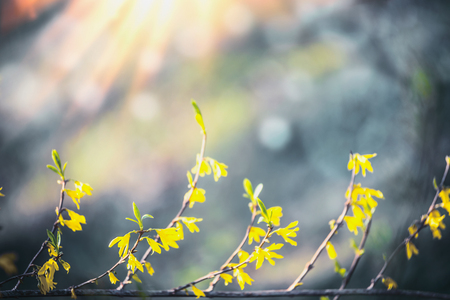 Yellow forsythia blossom at blurred  with bokeh and sunshine. Spring nature. Stock Photo