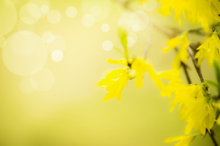 Spring nature  with yellow forsythia blossom at blurred