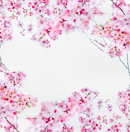 Pink sakura cherry blossom on white. Spring nature frame with blooming twigs of cherry trees. Springtime nature background