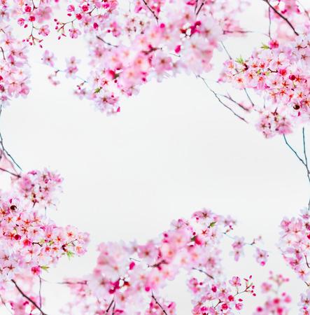 Rosa Sakura-Kirschblüte auf Weiß. Frühlingsnaturrahmen mit blühenden Zweigen von Kirschbäumen. Frühling Natur Hintergrund Standard-Bild