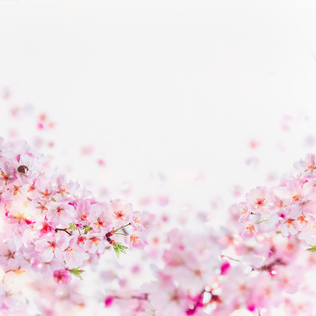 Close up of cherry blossom with little bumblebee in bloom. Pink spring blossom on white. Springtime floral background border.