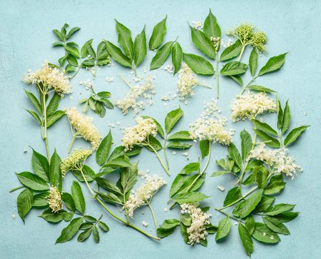 Elderflowers branches with leaves on light blue background, top view. Blossom of elder. Flat lay