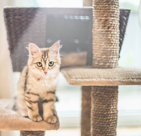 Young funny red kitten is sitting on cats tree. Purebred Siberian cat. Cat looking at camera