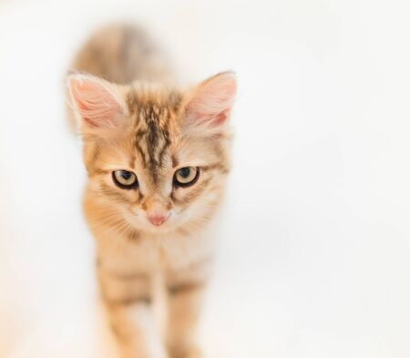 Portrait of young red serious cat at light