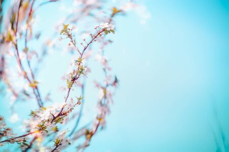 Spring cherry blossom branches at blue background with bokeh. Srpingtime nature Stock Photo