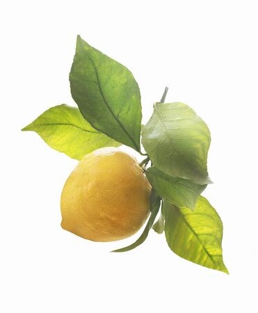 Fresh ripe organic lemon on branch with green leaves on white background. Citrus fruits concept