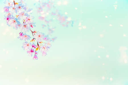 Springtime pink cherry blossom with sunshine bokeh at turquoise blue background. Nature abstract
