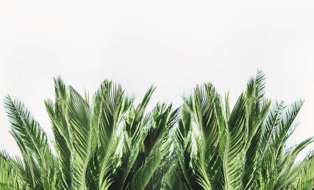 Tropical palm leaves border at white background