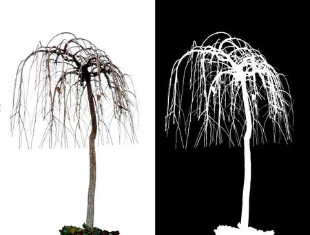 알파 채널과 흰색 배경에 단풍없이 나무