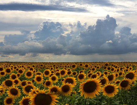 yellow sunflower field at the top of the sky clouds Reklamní fotografie