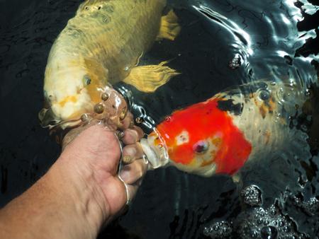 human hand gives food to Japanese carp