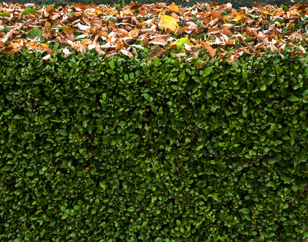 evergreen shrub hedge sprinkled with yellow foliage
