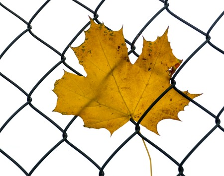 maple leaf stuck in the mesh fence
