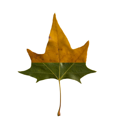 maple leaf composed of two colors
