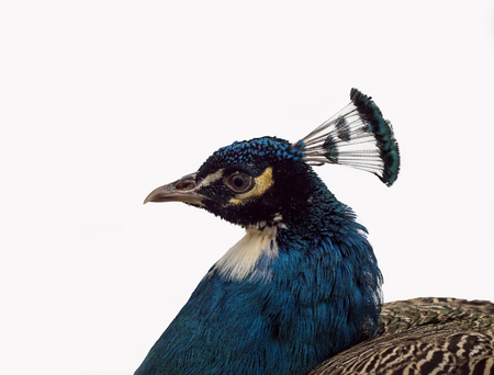 peacock head closeup on white background