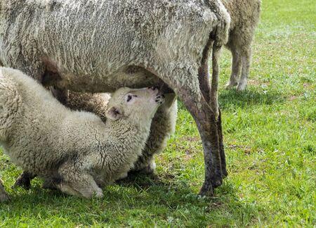 sheep farm nature lamb