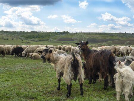 sheep graze in a green meadow Reklamní fotografie