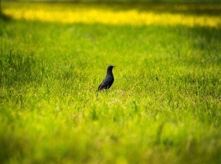 blackbird sits on green grass in the sun