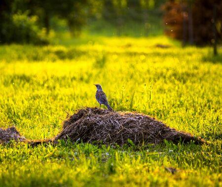 thrush sits on green grass in the sun Reklamní fotografie