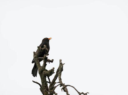 blackbird isolated tree